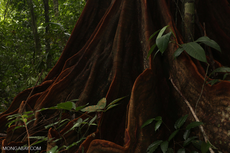 Osa rainforest tree [costa_rica_osa_0081]