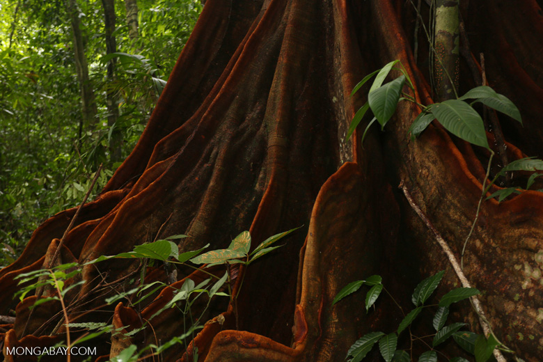 Osa rainforest tree [costa_rica_osa_0082]