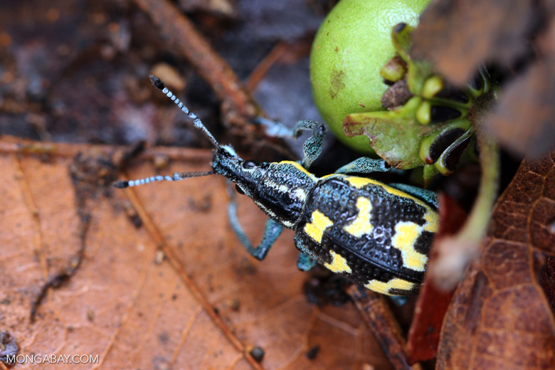 Turquoise, blue, and yellow weevil [costa_rica_osa_0106]