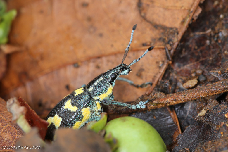 Turquoise, blue, and yellow weevil [costa_rica_osa_0107]