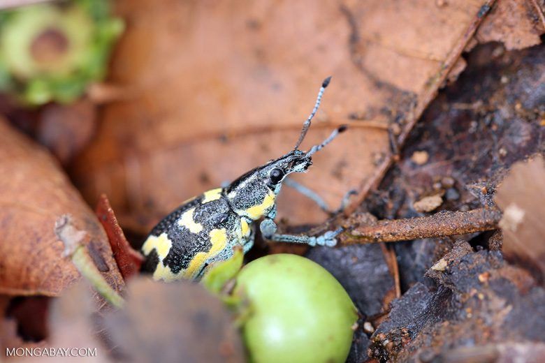 Turquoise, blue, and yellow weevil