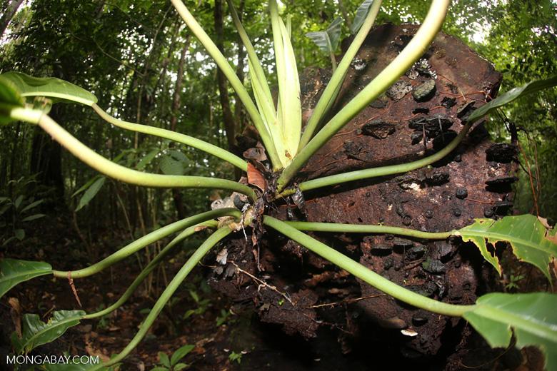 Rainforest plant [costa_rica_osa_0148]