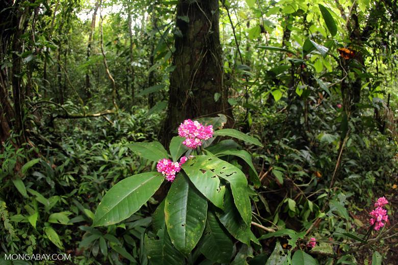 Pink flowers [costa_rica_osa_0176]