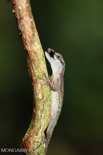 Anole eating an insect [costa_rica_osa_0179]
