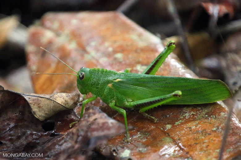 Green grasshopper with silver eyes