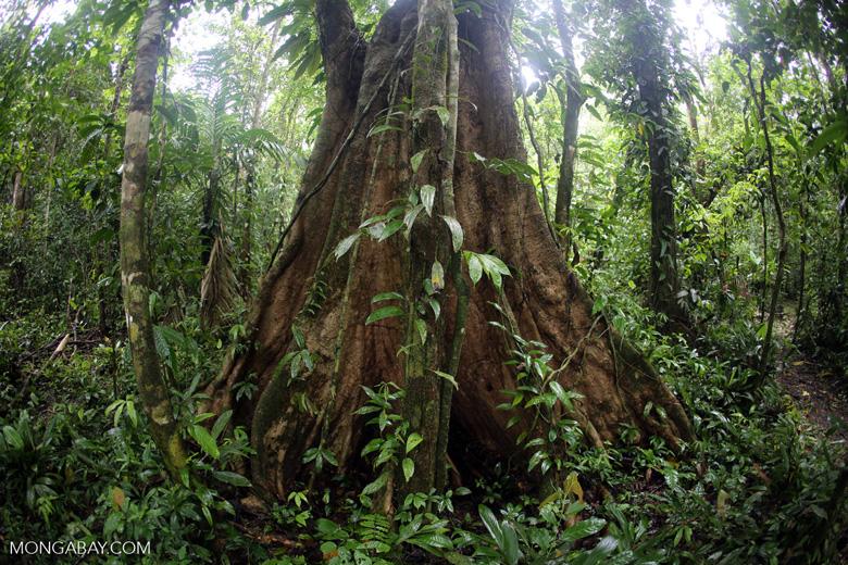 Rainforest tree [costa_rica_osa_0210]