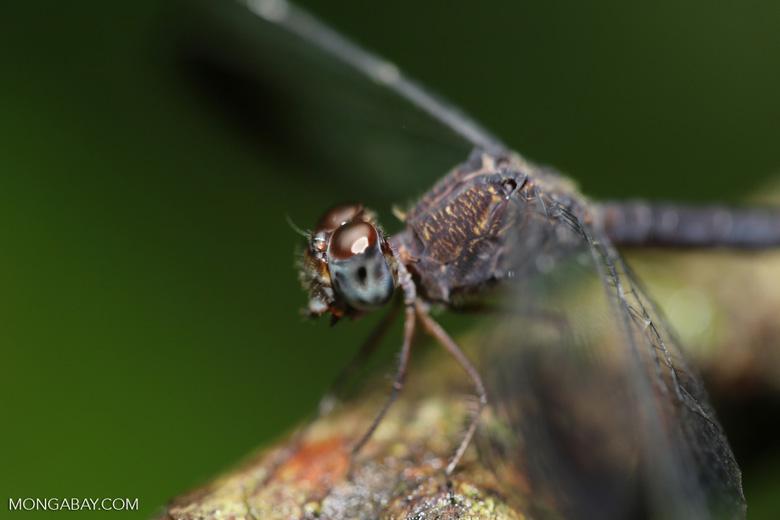 Dragonfly [costa_rica_osa_0215]