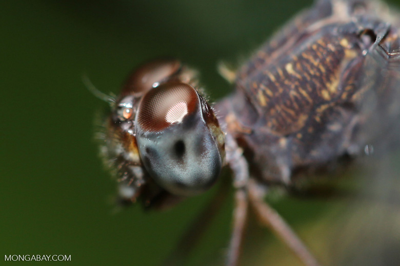 Dragonfly [costa_rica_osa_0216]