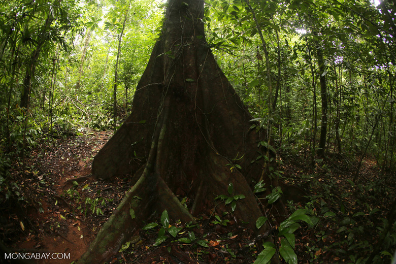 Rainforest canopy tree