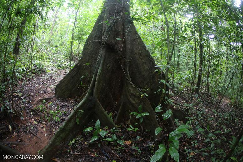 Rainforest canopy tree [costa_rica_osa_0220]