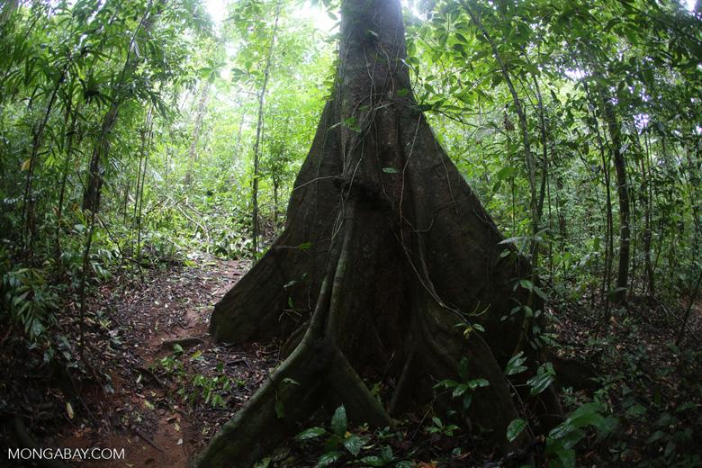 Rainforest canopy tree [costa_rica_osa_0221]