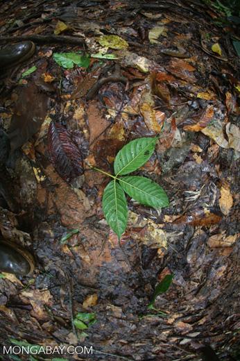 Rainforest leaves [costa_rica_osa_0229]