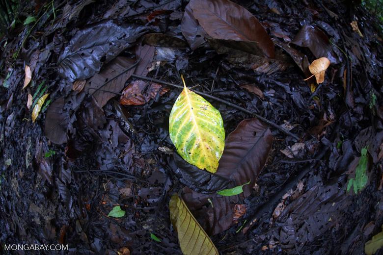 Yellow leaf [costa_rica_osa_0240]