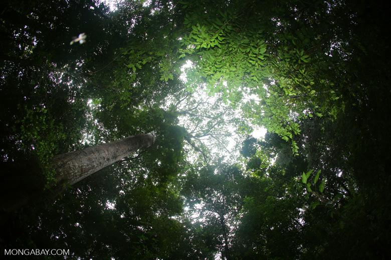 Giant rainforest tree [costa_rica_osa_0248]