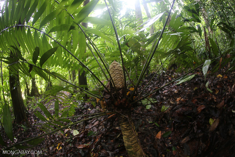Rainforest fern [costa_rica_osa_0252]