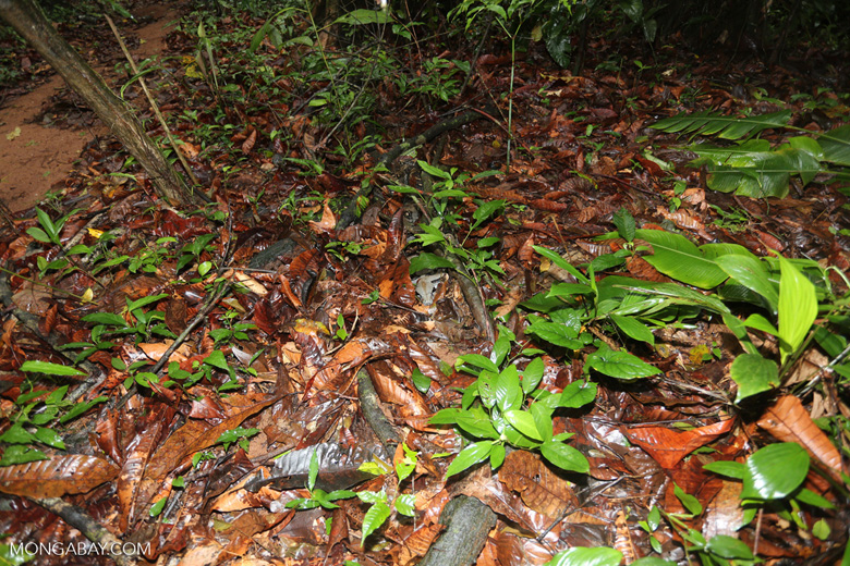Boa constrictor hidden among leaves on the forest floor