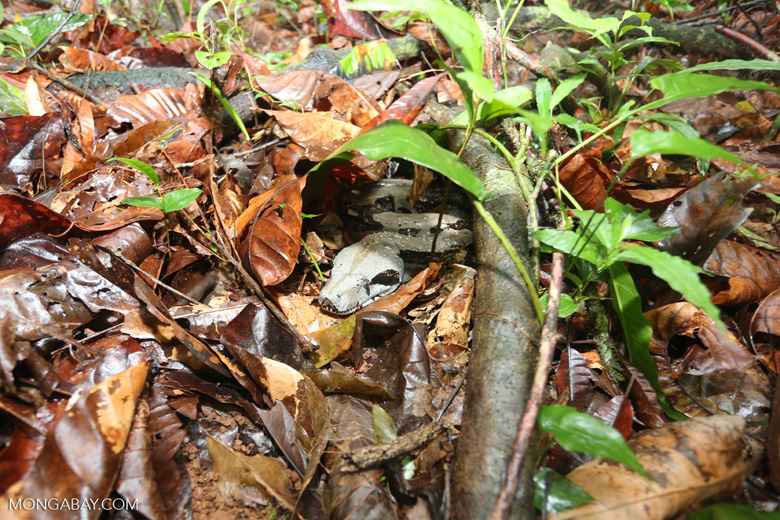 Boa constrictor camouflaged among leaves on the forest floor [costa_rica_osa_0273]