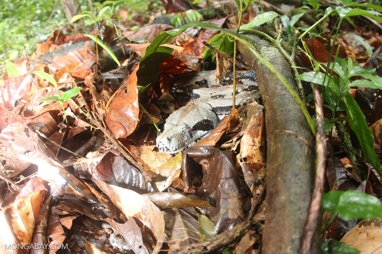 Boa constrictor camouflaged among leaves on the forest floor in Costa Rica [costa_rica_osa_0283]