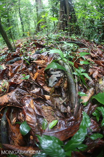 Boa constrictor camouflaged among leaves on the forest floor in Costa Rica [costa_rica_osa_0287]