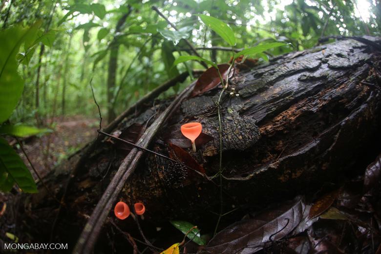 Red cup mushrooms (Cookeina speciosa) [costa_rica_osa_0300]
