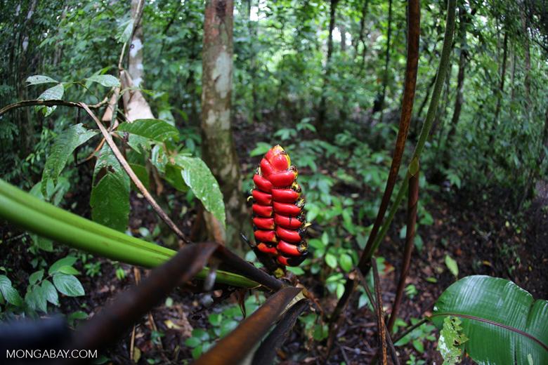 Red heliconia [costa_rica_osa_0310]
