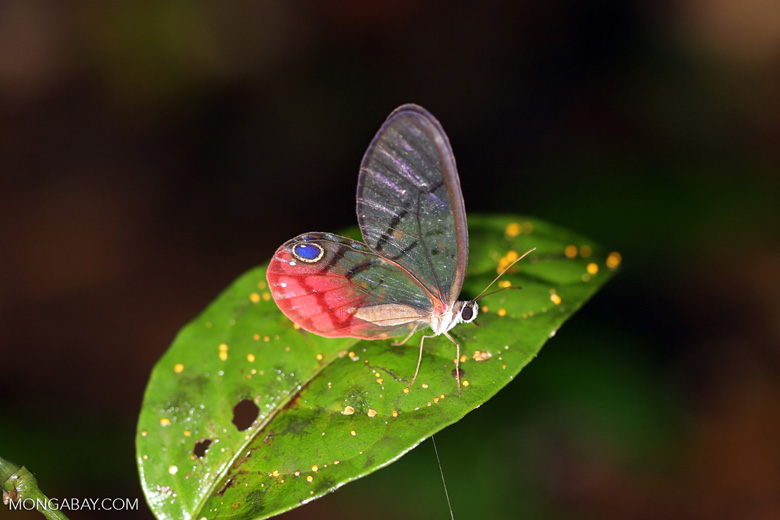 Butterfly with transparent wings (photo)