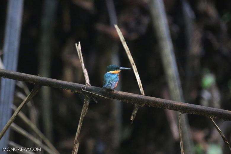 Male green kingfisher [costa_rica_osa_0333]
