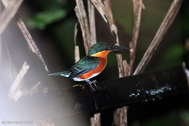 Male green kingfisher [costa_rica_osa_0342]