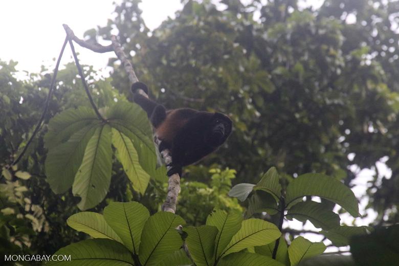Mantled Howler Monkey (Alouatta palliata) [costa_rica_osa_0366]
