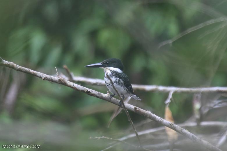 Female green kingfisher [costa_rica_osa_0428]