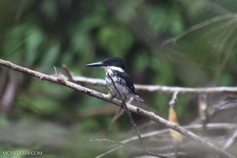 Female green kingfisher [costa_rica_osa_0429]
