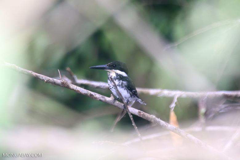 Female green kingfisher [costa_rica_osa_0433]