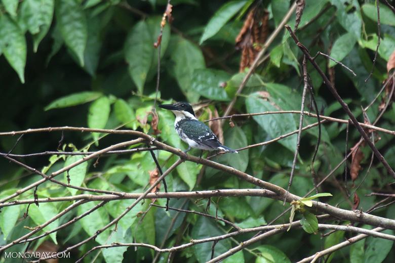 Female green kingfisher [costa_rica_osa_0434]