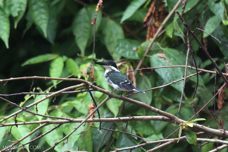 Female green kingfisher [costa_rica_osa_0435]