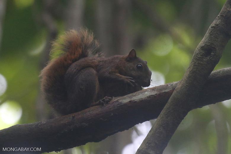 Squirrel [costa_rica_osa_0468]
