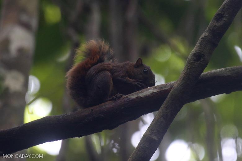Squirrel [costa_rica_osa_0469]