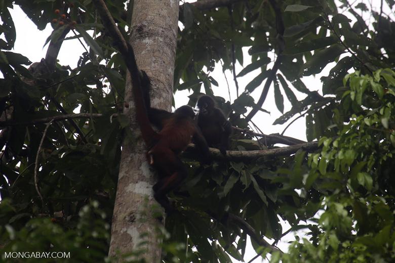 Spider monkeys [costa_rica_osa_0471]