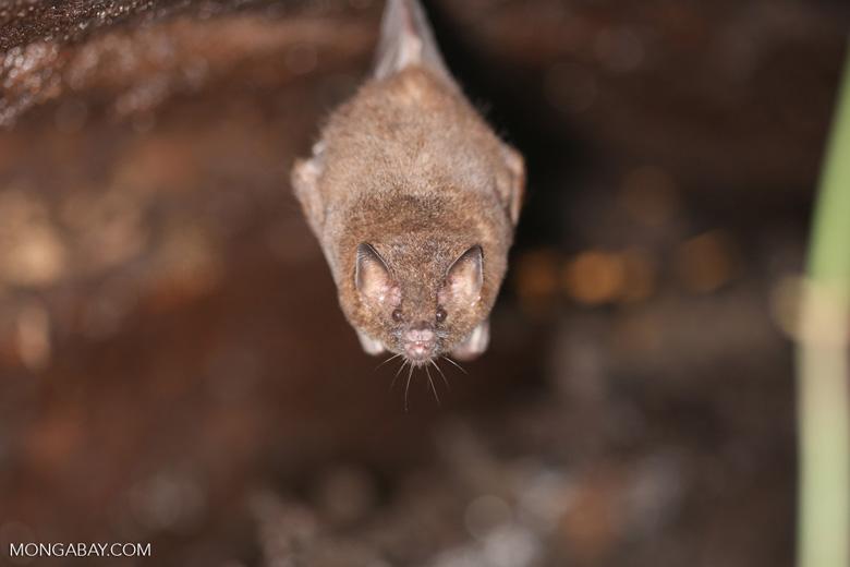 Bat [costa_rica_osa_0473]