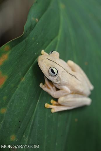 Gladiator Tree Frog (Hypsiboas rosenbergi) [costa_rica_osa_0519]