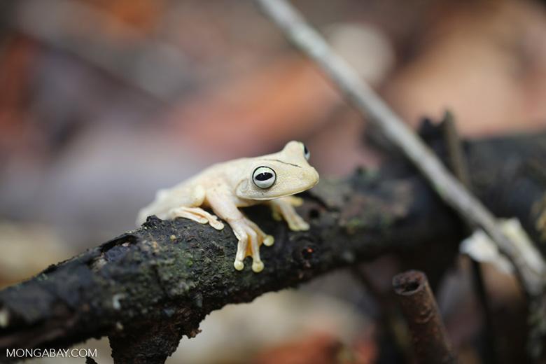 Gladiator Tree Frog (Hypsiboas rosenbergi) [costa_rica_osa_0531]