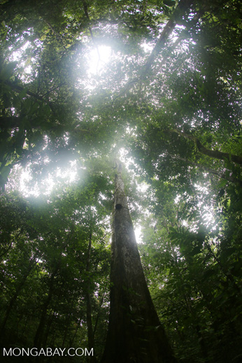 Rainforest tree on the Osa Peninsula