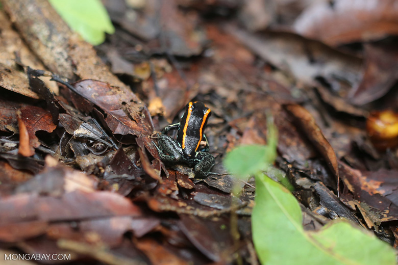 Phyllobates vittatus Dart Frog [costa_rica_osa_0566]
