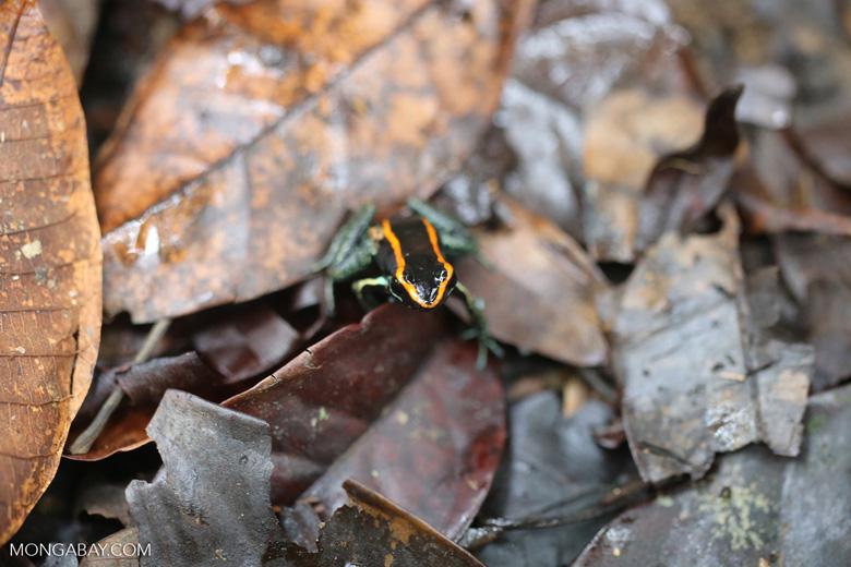 Golfo Dulce Poison Dart Frog [costa_rica_osa_0568]