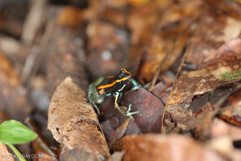 Golfo Dulce Poison Dart Frog (Phyllobates vittatus)  [costa_rica_osa_0589]