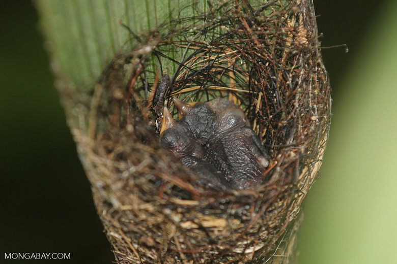Baby hummingbirds in a nest
