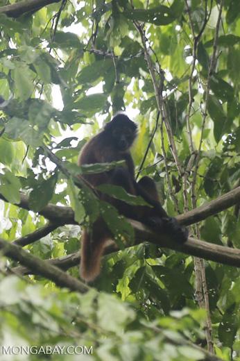 Geoffroy's Spider Monkey [costa_rica_osa_0600]