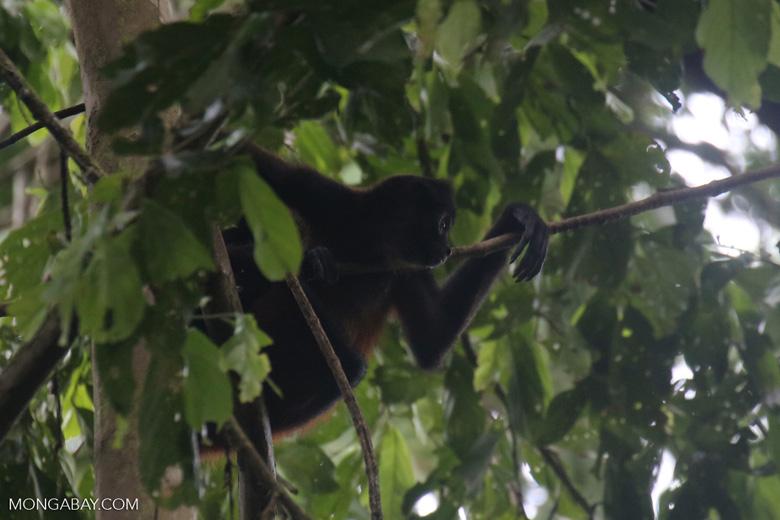 Costa Rican Spider Monkey