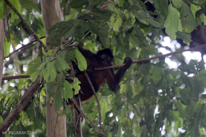 Costa Rican Spider Monkey [costa_rica_osa_0608]