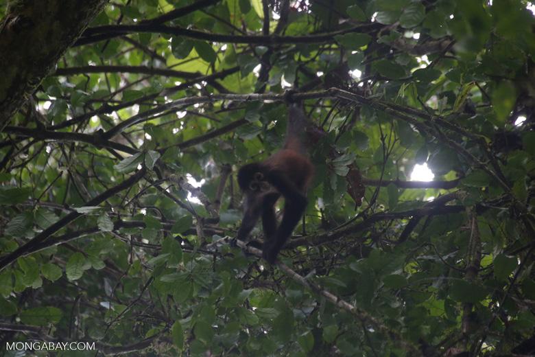 Baby spider monkey [costa_rica_osa_0622]