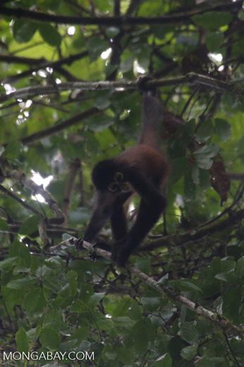 Baby spider monkey [costa_rica_osa_0624]